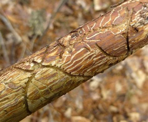 Pine Bark Beetle Pictures