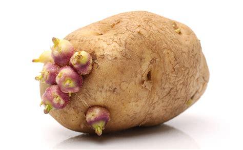 what is potato potato as birth never a idea modern farmer