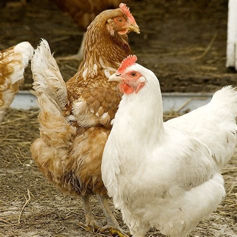 raising chickens 101 bring up baby chicks the old raising chickens 101 how to get started