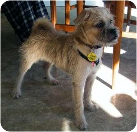 adopt a pug toronto benji adopted toronto on border terrier pug mix
