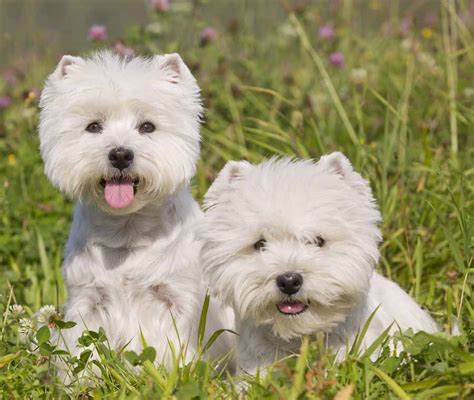 Do West Highland Terriers Shed by Hypoallergenic Breeds Dogs That Don T Shed K9