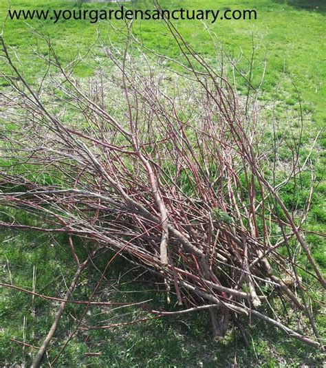 renovation pruning of flowering shrubs how to prune type shrubs simply and easily
