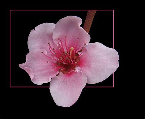 immagini fiori di pesco 369 fiore di pesco foto immagini piante fiori e funghi