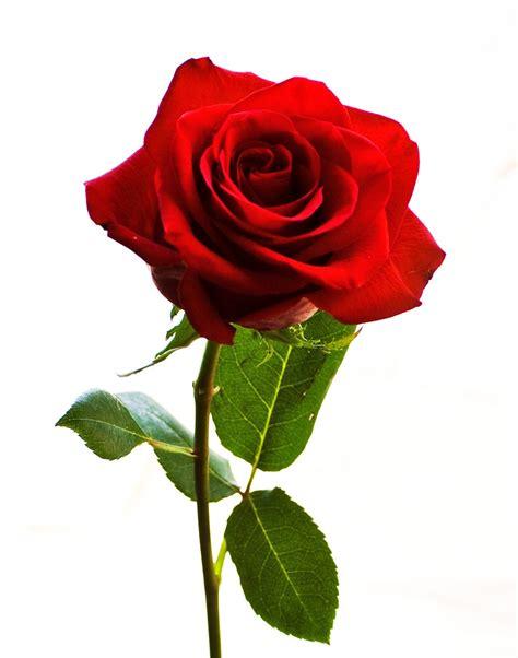 Renda Mawar S 2 morfologi bunga mawar biology smart
