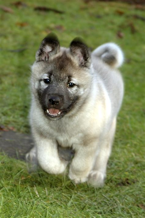 elkhound puppy elkhound