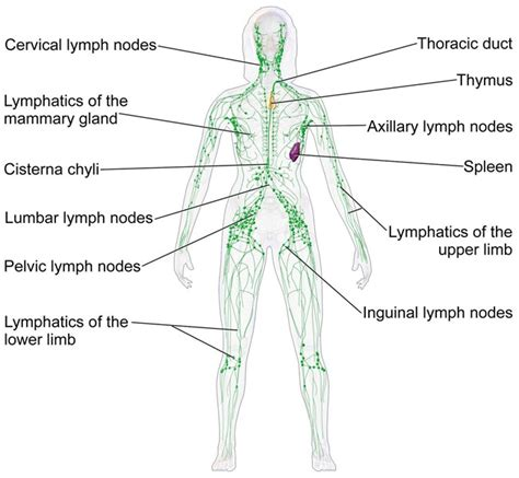 diagram of groin thoracic surgery lymphadenectomy