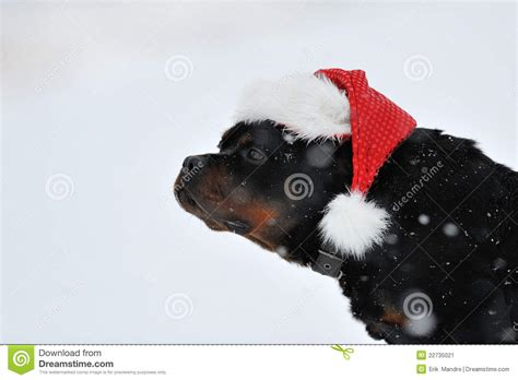 rottweiler birthday wishes rottweiler wishes stock image image 22735021
