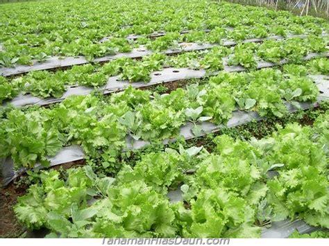 Bibit Terong Lalapan sayuran hidroponik cara dan macam macam tanamanhiasdaun