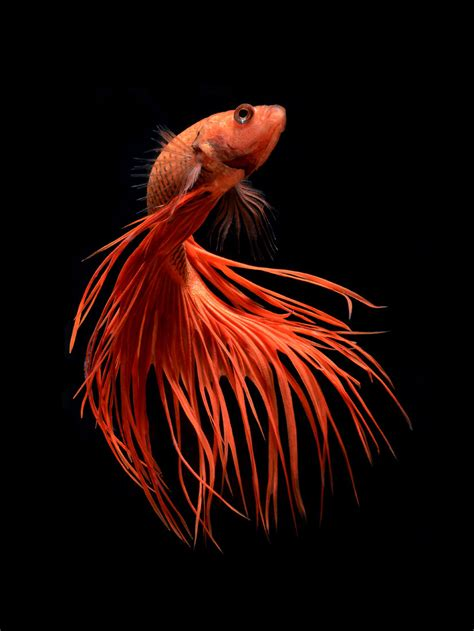 visually arresting portraits of siamese fighting fish