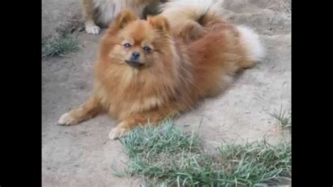 teacup pomeranian brown the gallery for gt white teacup pomeranian puppies for sale