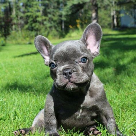 blue frenchie puppy blue frenchie puppies myideasbedroom