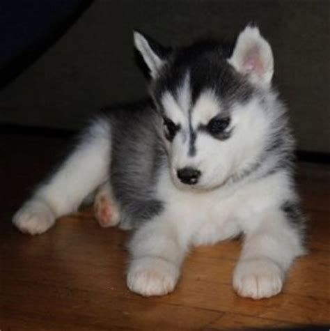 husky puppies nj pets bowling green ky free classified ads