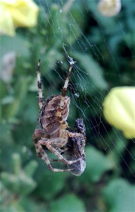 Garden Spider Definition Predator Entomologists Glossary Entomologists