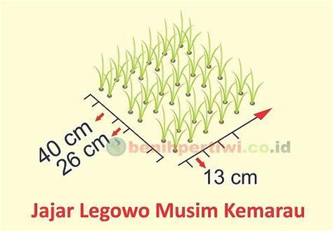 Ok Jagung Pakan Ternak sistem jajar legowo untuk padi pak tiwi 1 benih pertiwi