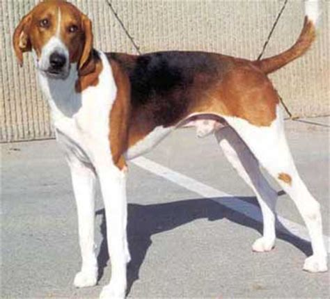 american foxhound puppies virginia state american foxhound
