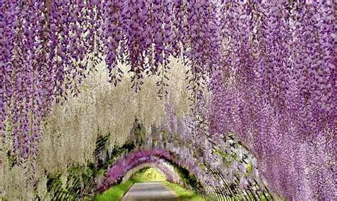 Wisteria Flower Tunnel by 5 Unique And Most Beautiful Places In The World One Must Visit