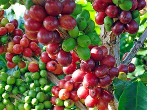 Nature Stek Untuk Pembuahan budidaya kopi panduan budidaya agro