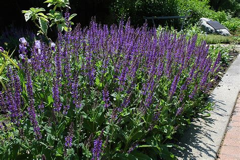 showy catmint nepeta grandiflora in winnipeg headingley oak bluff manitoba mb at shelmerdine