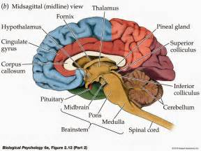 Leftand right brains