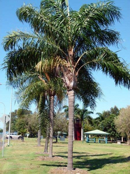 cocos palm arecastrum romanzoffianum  clear trunk