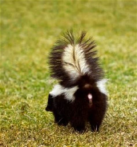 got sprayed by a skunk sprayed by a skunk