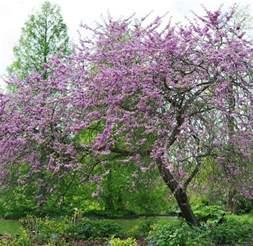 cercis siliquastrum tree garden gift company