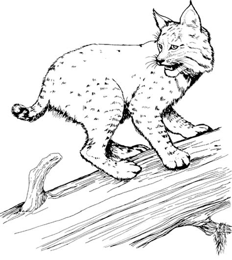 bobcat coloring page bobcat printable coloring pages