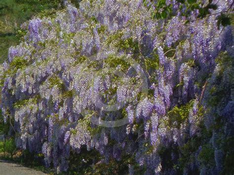 wisteria sinensis chinese wisteria information photos