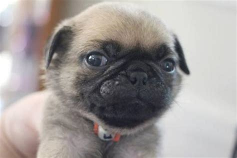pug breeders illinois awesome akc pug puppies for adoption free classifieds