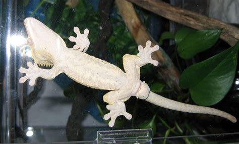 gecko change color crested gecko colour change reptiles canada forums