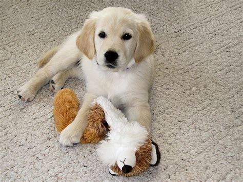 golden retriever breeders in minnesota mapleleaf golden retrievers golden retriever breeder big lake minnesota
