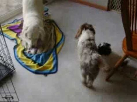 havanese puppies omaha havanese puppy funnydog tv
