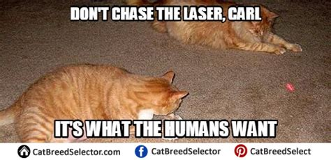 Laser Cat Meme - cat memes cat breed selector