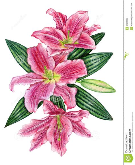 hand drawn lily flowers stock illustration illustration