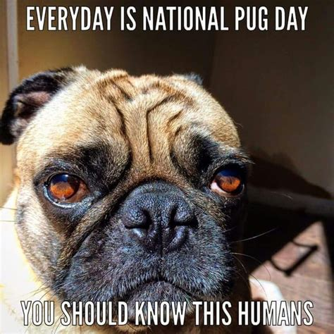 when is national pug day best 25 national pug day ideas on cutest pug national puppy day and