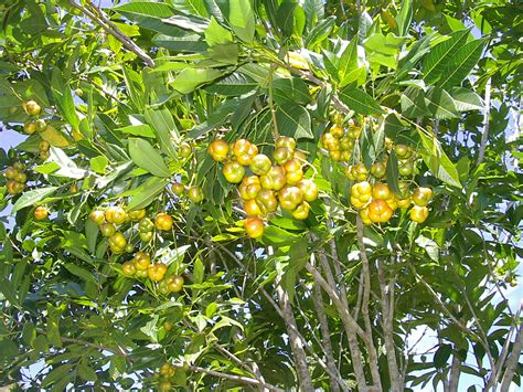 how to identify fruit trees forum can anyone identify this tree