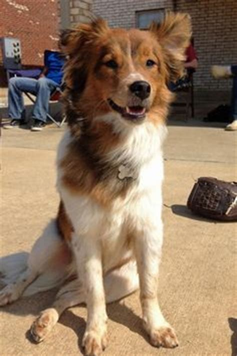 australian shepherd x golden retriever 1000 ideas about golden retriever mix on alaskan husky golden retrievers