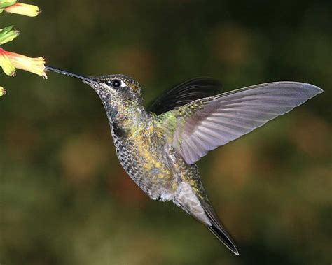 magnificent hummingbird audubon field guide