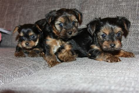 yorkie for sell selling terriers thornton heath surrey