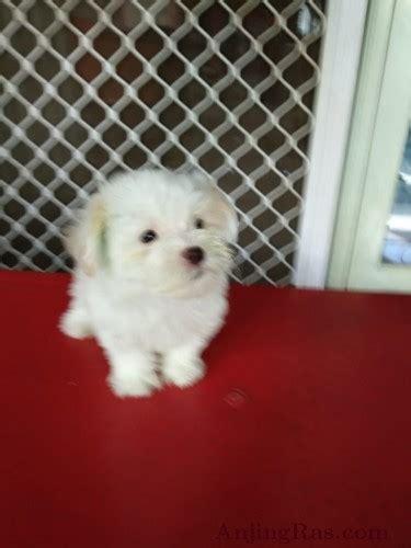 maltese jual anak anjing artikel anjing adopsi anjing