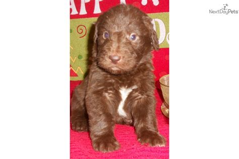 labradoodle puppies for sale in ky labradoodle puppy for sale near kentucky db42e72c 53f1