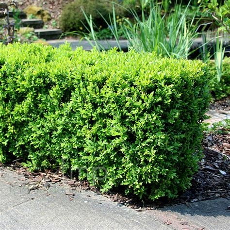Boxwood Planters by Buxus Boxwood
