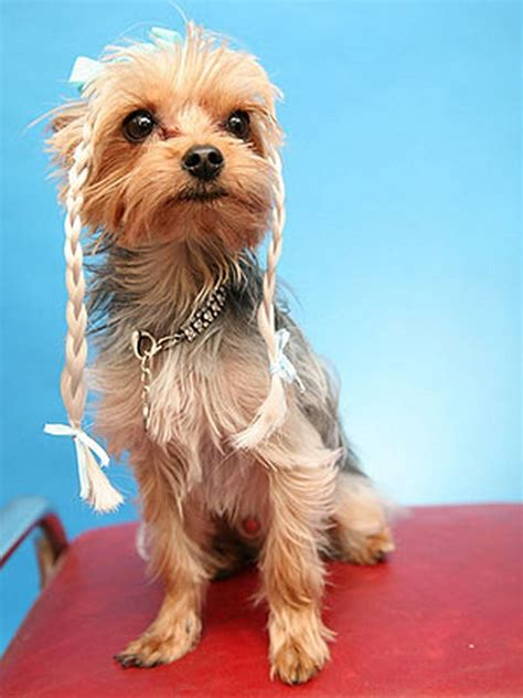 haircuts for yorkie dogs females crazy dog hairstyles