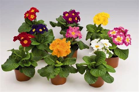 primule in vaso fiori da balcone consigli pratici per un balcone fiorito