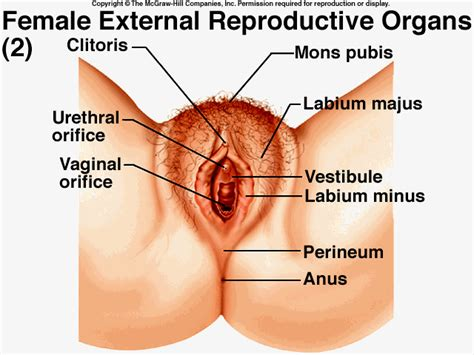 diagram of a vagiana reproductive system