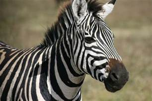 The Zebra Zebra Survivors Rp All Are Welcome Page 9