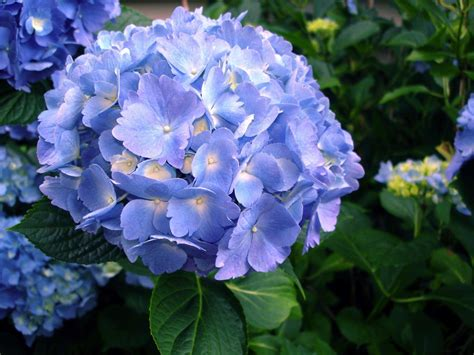 gardening tips for pruning hydrangea bushes the morning call