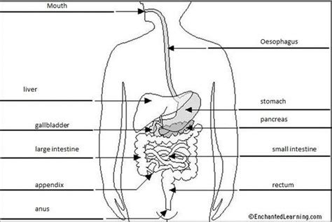 labeled digestive system diagram gallery digestive system no labels