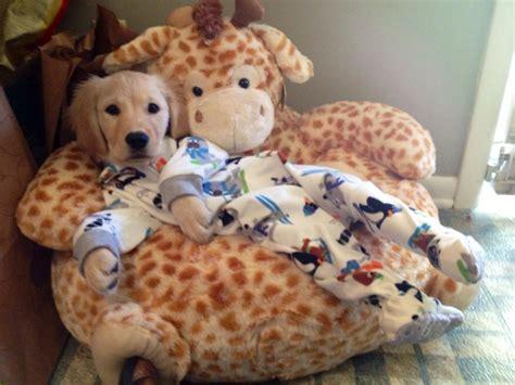 golden retriever puppy pajamas cuteness cuteness breaking news bulldog boston terrier golden