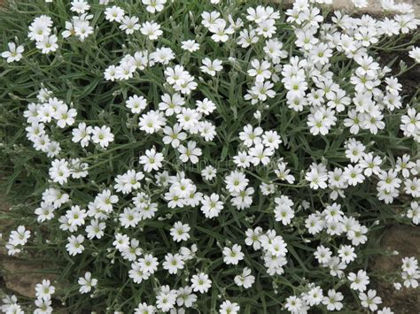 cespugli fiori bianchi molti piccoli fiori bianchi immagine stock immagine di